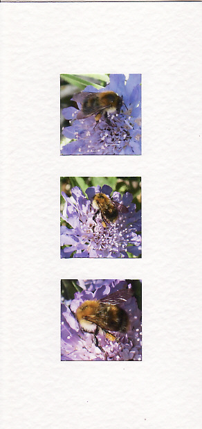SALE - Bee On Scabious Images - Greetings Card or Notelet - Photo Prints
