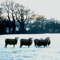 Snowy Sheep Christmas card pack of 5 (blank) 95mm square