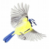 Blue tit swooping print