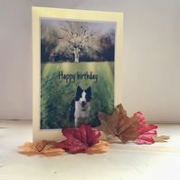 Border collie birthday