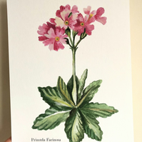 Primrose watercolour Giclee print