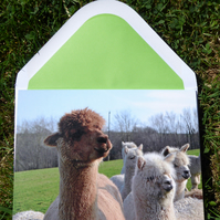 Alpha Alpaca Card