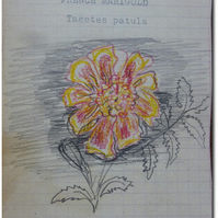 MARIGOLD - tagetes patula - home grown seeds in hand illustrated envelopes