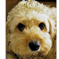Princess Phoebe - photograph of a Cavapoo 50 cm x 40cm
