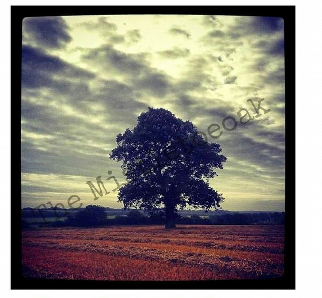 Solitary lonely oak tree in harvested cornfield blank card