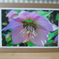 Pink Hellebore Greetings Card Christmas Rose