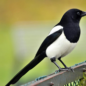 Charmmagpie