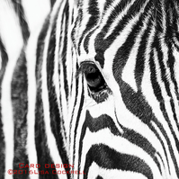 Exclusive Handmade Zebra Abstract Greetings Card