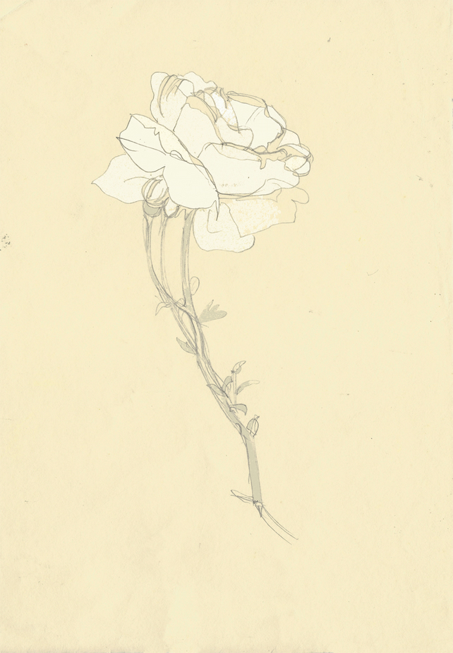 Art print of original illustration 'White Rose Sketch', flower illustration