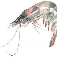 Prawn - A4 Giclee Print of an Original Blotted Line Illustration