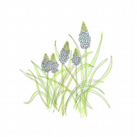 Grape Hyacinth postcard