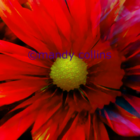 'Bright Red Chrysanthemum' - A4 Archival Matte print