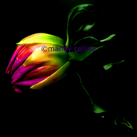 'Dahlia Bud on Black' - A4 Archival Matte Giclee print