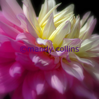 'Pink and Yellow Chrysanthemum' - A4 Archival Matte print