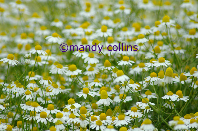 'Chamomile Meadow' - A4 Archival Matte print