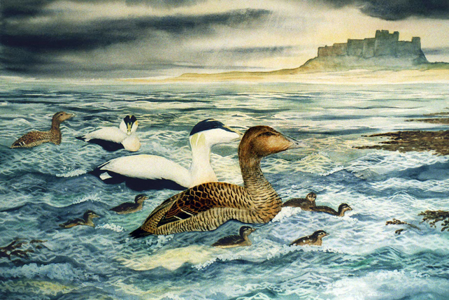 Eider Duck  - Bamburgh Castle, Northumbria