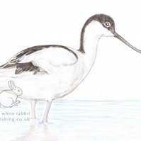 Avocet - Blank Card