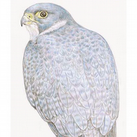 Peregrine Falcon - Birthday Card