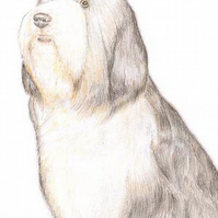 Sophie the Bearded Collie - Birthday Card