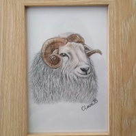 Hand drawn, framed, Herdwick Sheep, wall art