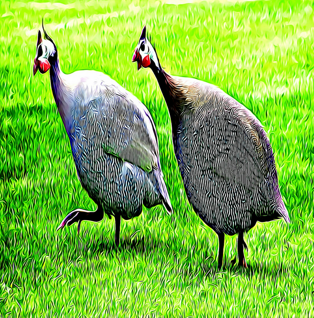 Running for Lunch, Guinea Fowls, Greeting Card, Large Card (A4 folded in half)