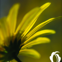 Sunshine (greeting card featuring a detail of an Oxtail flower)