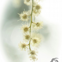 Spring (greeting card featuring a detail of Mimosa flower)