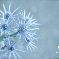 Ice thistle (greeting card featuring a photo of a thistle)