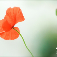 Poppy (greeting card featuring detail of a poppy)