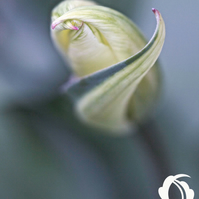 Unfurl (greeting card featuring a photo of a tulip)