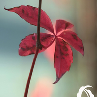 Creep (greeting card featuring detail of a virginia creeper)