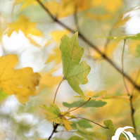 Golden leaves (greeting card featuring a photo of golden leaves)