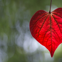 Love naturally 2 (greeting card featuring a photo of a heart shaped leaf)