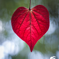Love naturally 5 (greeting card featuring a photo of a heart shaped leaf)