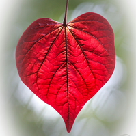 Love naturally 7 (greeting card featuring a photo of a heart shaped leaf)