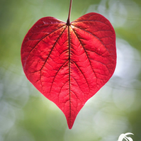 Love naturally 8 (greeting card featuring a photo of a heart shaped leaf)