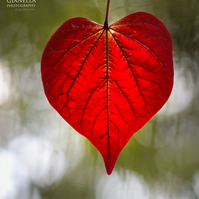 Love naturally 6 (greeting card featuring a photo of a heart shaped leaf)
