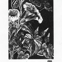 Wood engraving 'Hedge Bindweed'