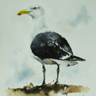 Great Black Backed Gull, Original Watercolour Painting.