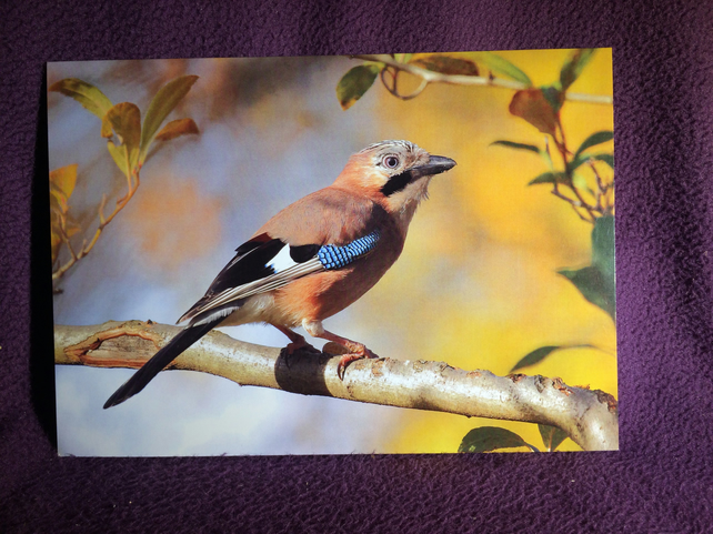 A5 European Jay Greetings Card.