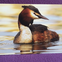 A5 Great Crested Grebe Greetings Card.