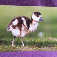A5 Egyptian Gosling Greetings Card.