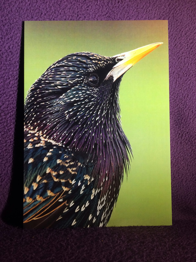 A5 Starling portrait greetings card.