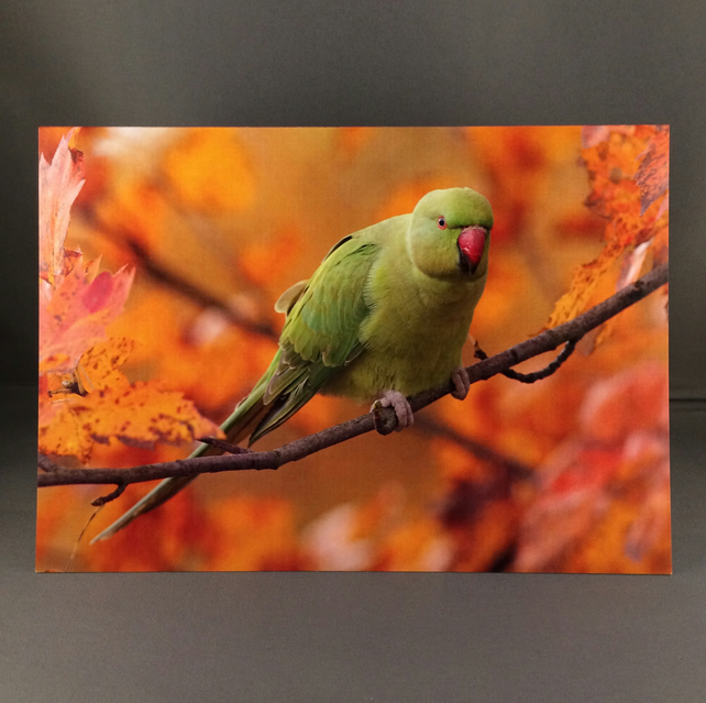 Ring-necked parakeet greetings card.