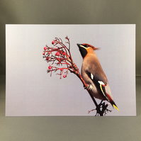 Waxwing greetings card. W2
