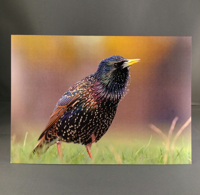 Starling greetings card, st3
