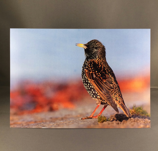 Starling greetings card, st6