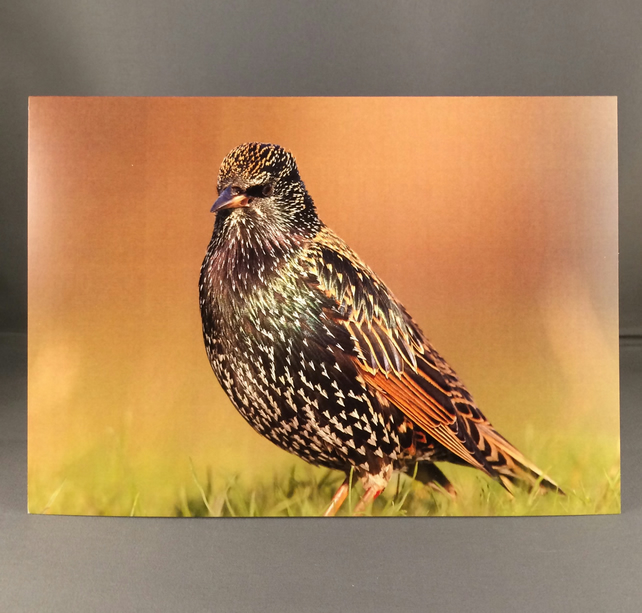 Starling greetings card, st7