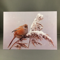 Bearded tit greetings card. Bt3
