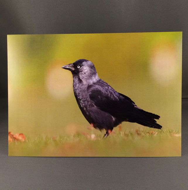 Jackdaw greetings card.